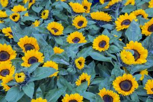 high quality sunflowers as a result of seed coating treated seeds